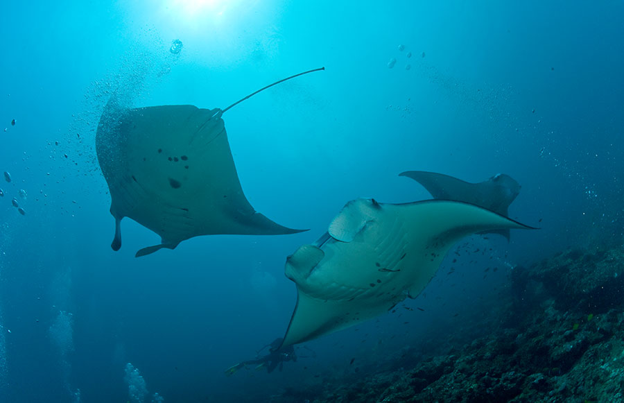 Maldives diving safaris Nautilus 1 Nautilus 2